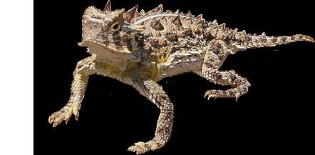 horned lizard story